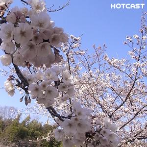 桜シーズン北上中 #334